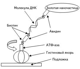 Молекулярный мотор на основе АТФ-азы